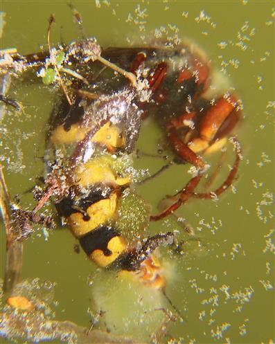 Hornisse(Vespa crabro(L. 1758)) ertrunken