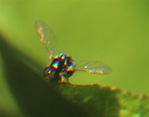 Schwebfliege(Eumerus spec. Meigen 1804))