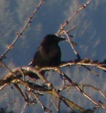 Junge Saatkrähe(Corvus frugilegus(L. 1758)) am Friedhof