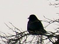 Junge Saatkrähe(Corvus frugilegus(L. 1758)) südlich von Eiershausen
