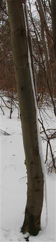 Verharrschter Schnee, der an einem Stamm einer Rofbuche(Fagus sylvatica(L.)) abrutscht