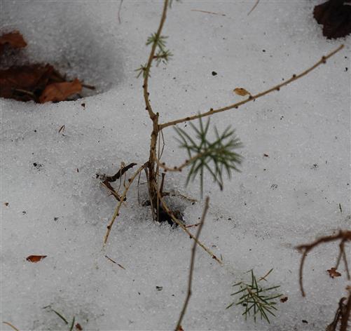 Junge Gewöhnliche Europäische Lärche(Larix decidua(Mill.)) Ende Januar 2017 im Schnee(noch kaum benadelt)