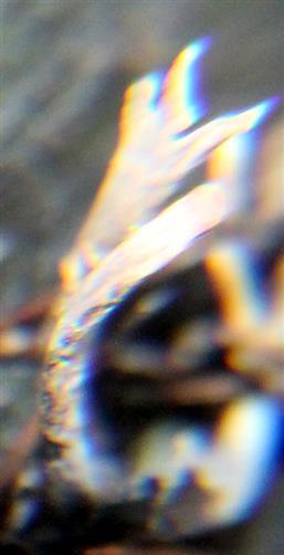 Geweihförmige Holzkeule(Xylaria hypoxylon(L.) Grev.) auf Tothölz
