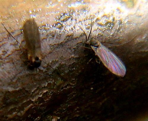 Gemeine Wintermücken(Trichocera annulata) an einem Zweig