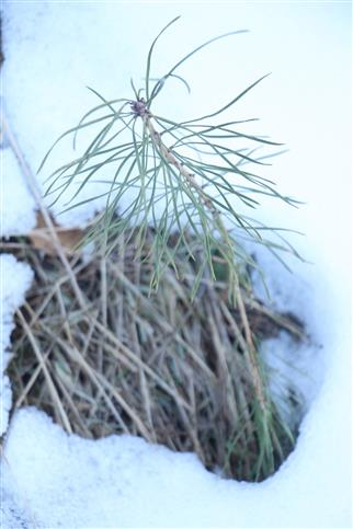 Naturverjüngung Waldkiefer(Pinus sylvestris(L.))