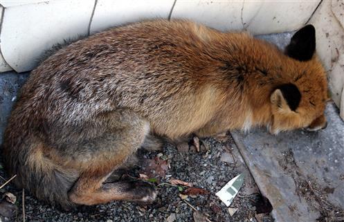 Ein verwundeter Rotfuchs(Vulpes vulpes(L. 1758)) suchte ein Versteck