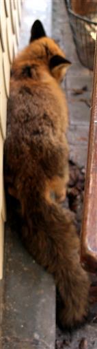 Rotfüchse(Vulpes vulpes(L. 1758)) bewegen sich gerne