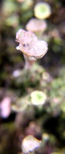 Becherflechte(Cladonia pyxidata(L.)Hoffm.)