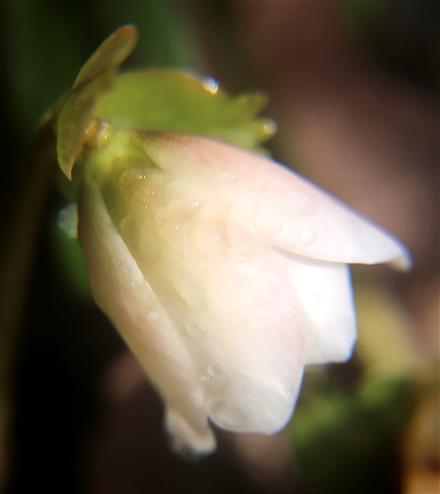 Blüte der Schnee- oder Christrose(Helleborus niger(L. ))