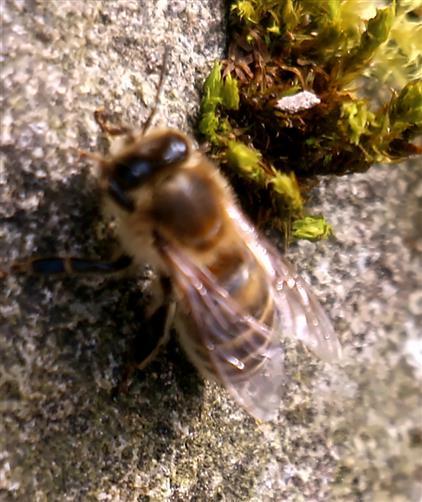 Westliche Honigbiene(Apis mellifera(L. 1758)) bei einer kurzen Rast