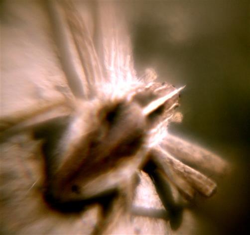 Listspinne(Pisaura mirabilis(Clerck 1757)) beim