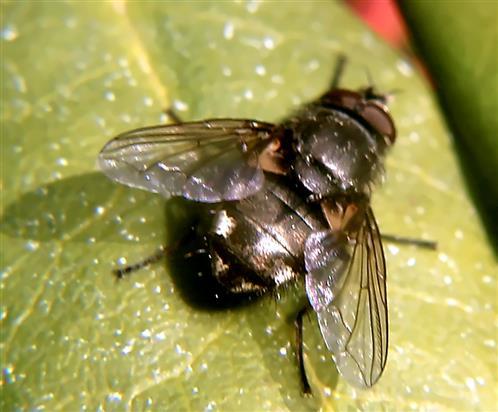 Schmeißfliege(Pollenia rudis(Fabricius 1794)) beim