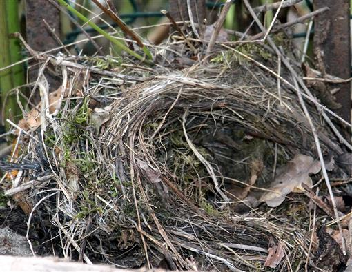 vermutlich Nest eines Rotkehlchens(Erithacus rubecula(L. 1758))