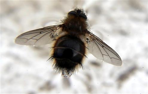 Raupenfliege(Tachinus ursina)