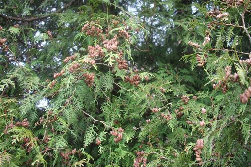Zweige eines Abendländischen Lebensbaumes(Thuja occidentalis(L.))