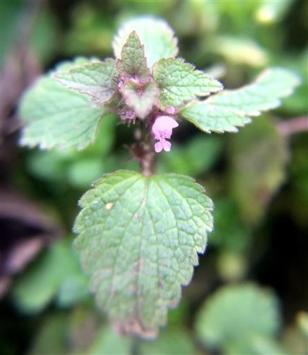Purpurrote Taubnessel(Lamium purpureum(L.))