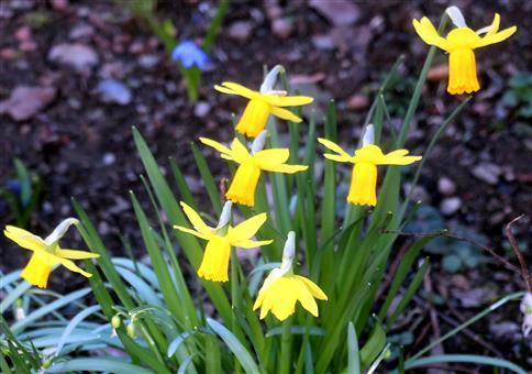 Dieses Jahr blühen die Osterglocken(Narcissus pseudonarcissus(L.)) etwas verfrüht....