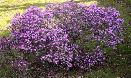 Pontischer Rhododendronbusch blühend(Rhododendron ponticum(L.))