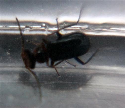 Malachidae(Troglops albicans)