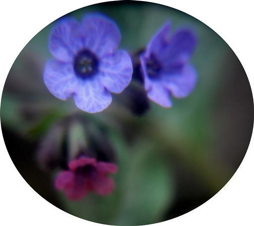 Blüten des Gefleckten Lungenkrautes(Pulmonaria officinalis(L.))