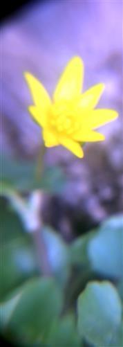 Frühlings-Scharbockskraut(Ficaria verna(Huds.))