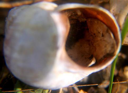 Gehäuse einer Weinbergschnecke(Helix pomatia(L.)) mit innenliegendem Operculum(Verschlussdeckel))