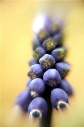 Blüten der Weinberg-Traubenhyazinthe(Muscari neglectum(L.))