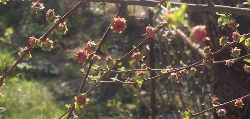 Blütenknospen eines Mandelbäumchens((Prunus dulcis(Mill.) D. A. Webb)