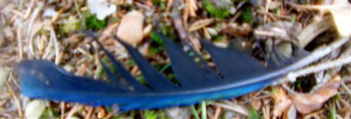 Schwanzfeder einer Elster(Pica pica(L. 1758))
