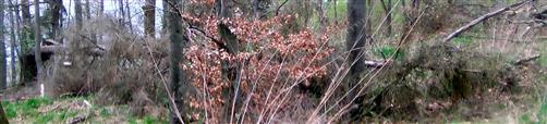 Windwurf einer Europäischen Lärche(Larix decidua(Mill.))