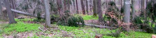 Windwurf einer Gemeinen Fichte(Picea abies(L.) H. Karst.)