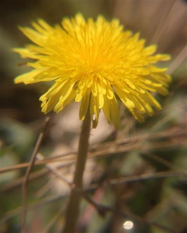 Blüte eines Gewöhnlichen Löwenzahnes(Taraxacum sect. Ruderalia(Kirschner, H.Øllg. & Štěpánek)