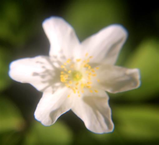 Blüte einer Waldanemone bzw. Buschwindröschens(Anemone nemorosa(L.))