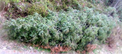 Vielleicht Windwurf eines Wacholders(Juniperus communis(L.))