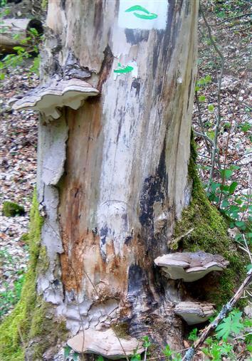 Flacher Lackporling(Ganoderma applanatum) an einem Baumstumpf