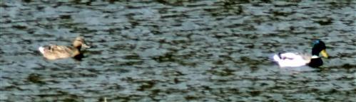 Stockenten(Anas platyrhynchos(L. 1758)) auf dem Lohmühlenweiher