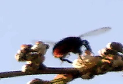 Weibliche Steinhummel(Bombus lapidarius(L. 1758)) an Sauerkirschblüten sammelnd