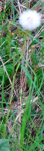 Fruchtstand des Huflattichs(Tussilago farfara(L.))