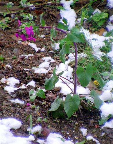Einjähriges Silberblatt(Lunaria annua(L.)) auch vom Frost gebeugt
