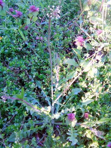 Gewöhnliches Hirtentäschelkraut(Capsella bursa-pastoris(L.)Medik.)