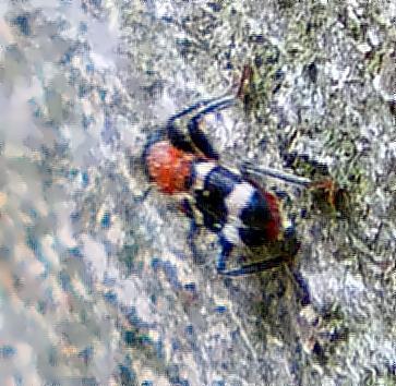Der Gemeine oder Ameisenbuntkäfer(Thanasimus formicarius(L. 1758))