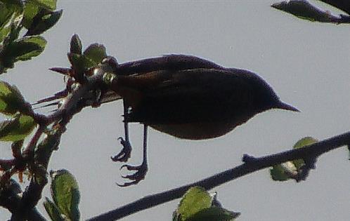 Weiblicher Hausrotschwanz(Phoenicurus ochruros(S.G.Gmelin 1774)) beim Abflug