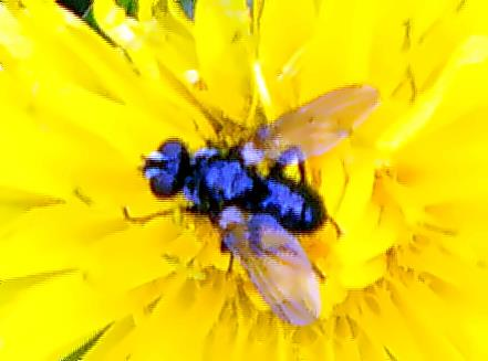 Schmeißfliege(Melanomya nana(Meigen 1826))