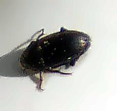 Metallfarbener oder Haarrand-Schnelläufer(Harpalinus affinis(Schrank 1781)) nach einem
