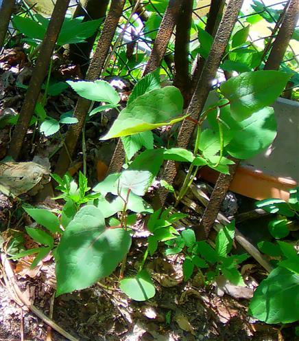 Japanischer Staudenknöterich(Fallopia japonica(Houtt.) Ronse Degr.)