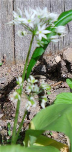 Bärlauch(Allium ursinum(L.))