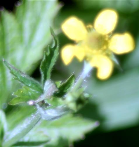 Blüte einer Stadtnelkenwurz(Geum urbanum(L.))