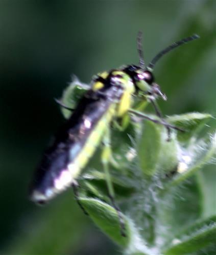 Grünschwarze Blattwespe (Tenthredo mesomela(L. 1758)) beim Blütenbesuch