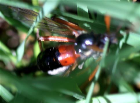 Holz- oder Schwarze Kammschnake(Tanyptera atrata(L. 1758))