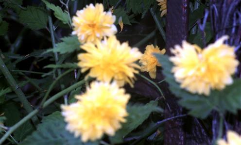 Gefüllte Japanische Kerrie(Kerria japonica